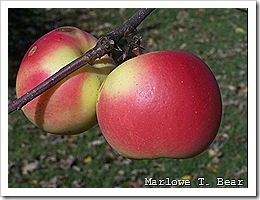 tn_2009-11-01 Apples (6)