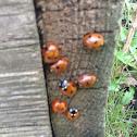 7 spot ladybird beetle