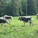 Seltsame Kühe