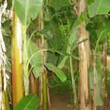 Bananen-Jungel