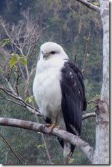 Gavião-pombo-grande