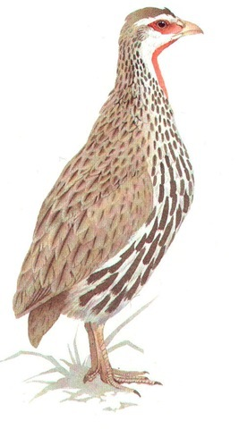 RED-NECKED FRANCOLIN