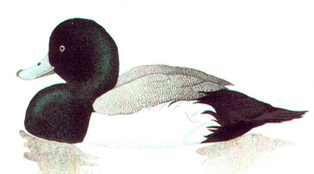 SCAUP (male)