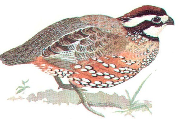 BOBWHITE (male)