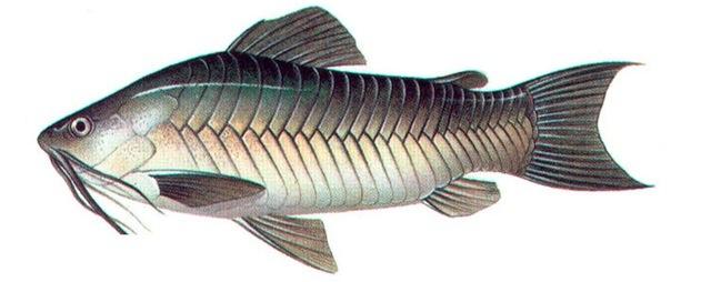 CASCADURA