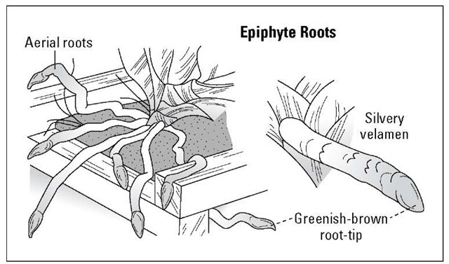 Epiphytic orchids have thick roots covered with silver velamen.