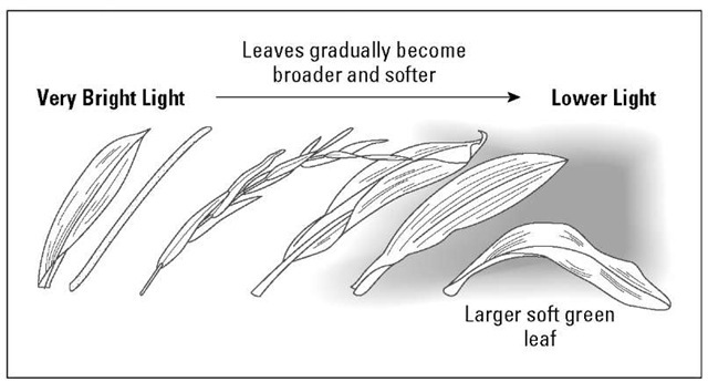 The type of leaf indicates an orchid's light requirements.