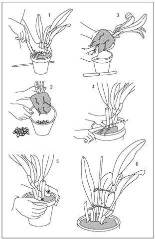 Potting your orchid.