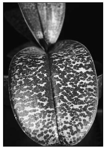 A close-up of the beautifully patterned leaf of Phalaenopsis stuartiana.