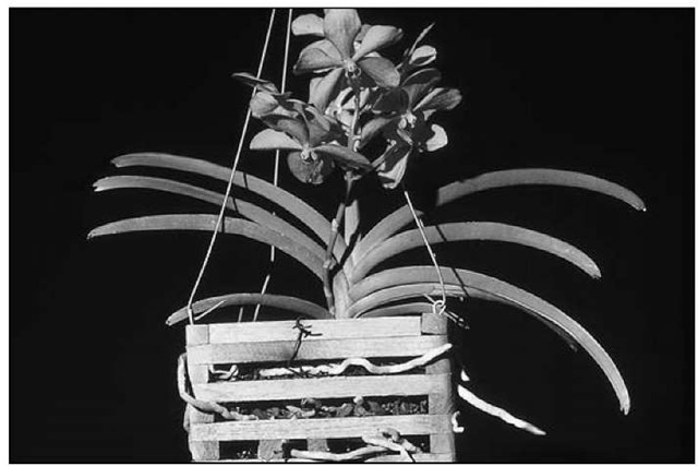 Ascocenda Medasand in a teak basket.