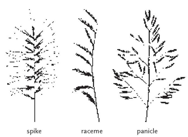 The three basic types of simple grass inflorescences.