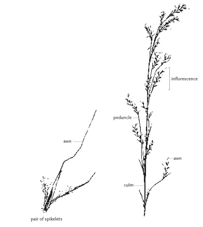 Although large terminal inflorescences are common among grasses, some species produce multiple lateral inflorescences along the length of the culm. Little bluestem, Schizachyrium scoparium, is an example of this, producing racemose inflorescences attached to separate peduncles arising from lateral nodes.