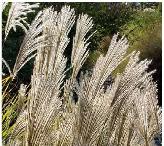 Compound inflorescences of Miscanthus sinensis are illuminated by the late-October sun in Maryland.