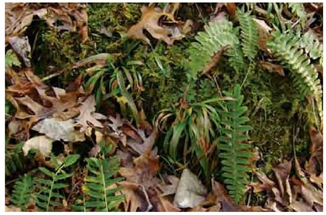 A mossy bank in deciduous forest in Virginia provides ideal habitat for wood rush, Luzula acuminata, and Christmas fern, Polystichum acrostichoides.