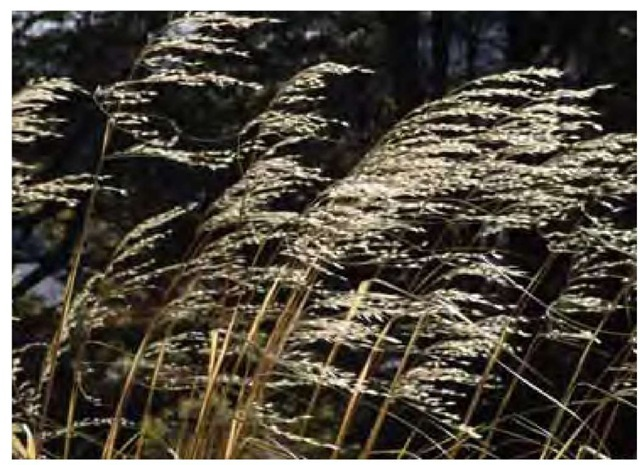 Sunlit seed stalks of snow tussock, Chionochloa favescens, flutter furiously in a powerful wind in August (winter) in New Zealand's Southern Alps.