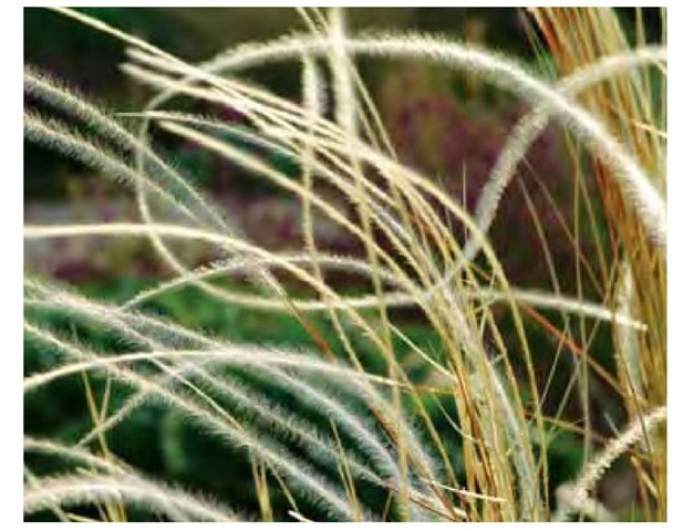 Though the lines of most grasses are parallel, some, such as those of this feather grass, Stipa barbata, in Beth Chatto's garden in Colchester, England, are complex and nearly free-form.
