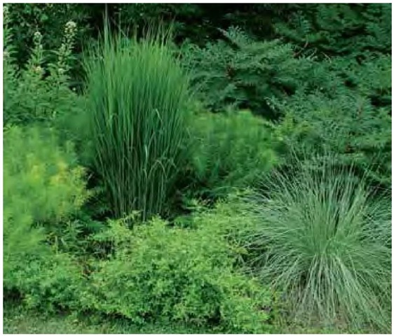 Moving the emphasis away from color profoundly changes the visual equation. In late July this south-facing border in the author's Pennsylvania garden is a study in texture and form. The upright stance, vertical lines, and relatively coarse texture of Panicum virgatum 'Northwind' (at left), a reliably upright cultivated variety of switch-grass, set it apart dramatically from aromatic aster, Aster oblongifolius (below it); thread-leaf bluestar, Amsonia hubrichtii (flanking it); and cutleaf smooth sumac, Rhus glabra 'La-ciniata' (backing it). The form of 'Northwind' will change very little when it flowers: it will remain mostly columnar. Although Lind-heimer's muhly, Muhlenbergia lindheimeri (at right), is slightly bluer than its companions, it stands out in the composition primarily because of its fine texture and rounded form.