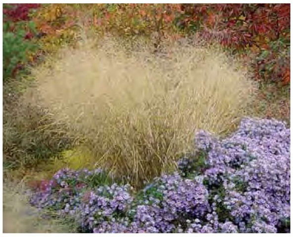 Scale and texture can be independent of one another. Though many of the smallest grasses are relatively fine-textured, the largest grasses vary from fine to coarse. Diffuse and cloudlike in form, Panicum virgatum 'Cloud Nine' stands more than 6 feet (2 m) tall in late October in the author's Pennsylvania garden, yet its texture is exceptionally fine.