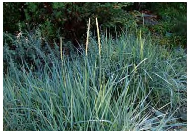 The glaucous foliage of giant wild rye, Leymus condensatus 'Canyon Prince', appears especially blue in shadow and early morning June light in San Luis Obispo, California.