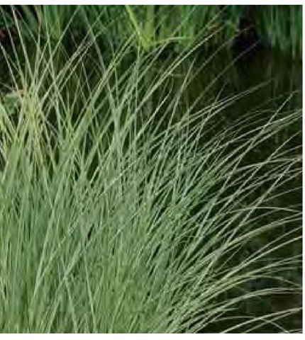 Miscanthus sinensis 'Morning Light' is among the most subtle of variegated grasses. Thin white-variegated edges on the narrow leaves result in an overall light green or gray-green appearance.