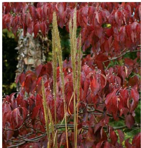 The burgundy foliage of flowering dogwood, Cornus florida, reveals the delicate vertical stalks of bent-awn plumegrass, Saccharum contor-tum, in the author's Pennsylvania garden in early November.