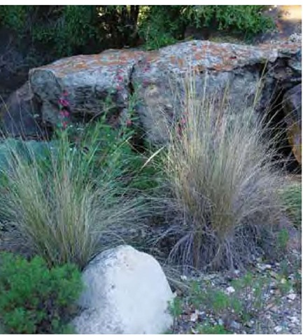 Desert needle grass, Achnatherum speciosum, in early April at the Santa Barbara Botanic Garden in California.