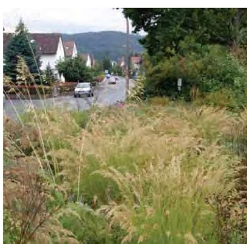 Light rain falls in late August on a drift of Achnatherum calamagrostis 'Lemperg' in this community park planting by Hans Simon in Marktheidenfeld, Germany.