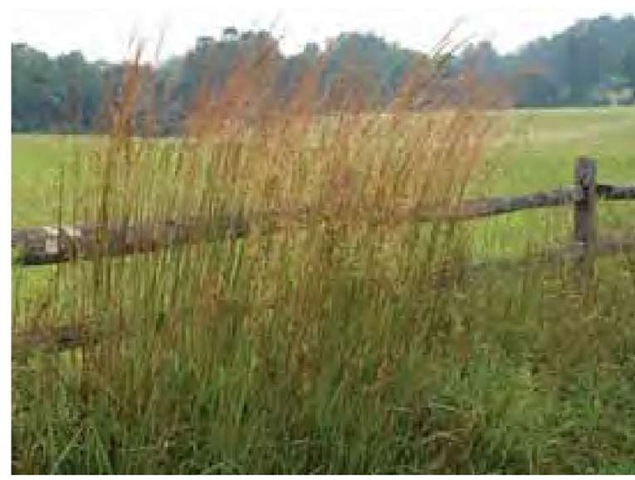 Indian grass, Sorghastrum nutans, is a classic warm-season grass, shown here in peak bloom on 26 August, in the full heat of summer in eastern Pennsylvania. Indian grass begins growth late in spring.
