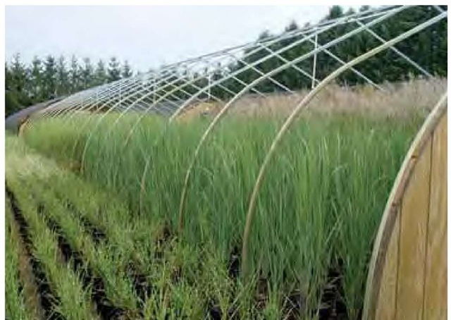 Production of landscape-sized container grasses at Pleasant Run Nursery in Allentown, New Jersey.