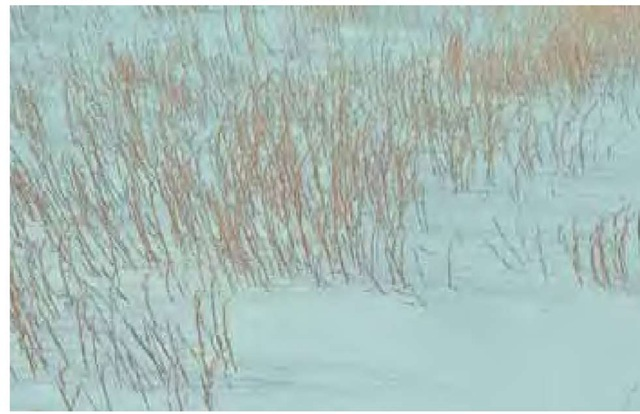 Andropogon virginicus is still standing through a late snow in mid March in northern Delaware, as the winter sun-bleached stalks cast fine shadow lines across the surface.