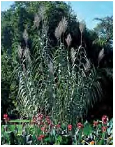 Arundo donax blooms 14 feet (4.2 m) tall in late October at Longwood Gardens in Pennsylvania.