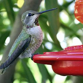 Humming Bird by Fran Juhasz-Mckitrick - Uncategorized All Uncategorized (  )