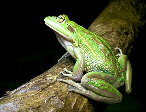 The growling grass frog is ``next on the hit list'' of chytrid fungus infection, which has wiped out many frog species in Australia and internationally.