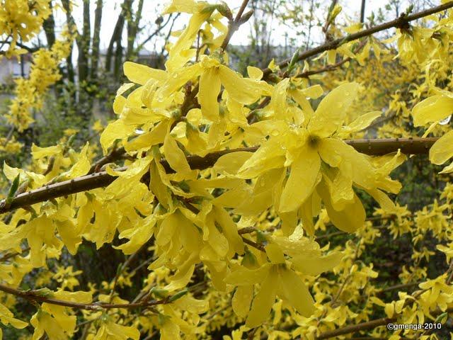 Nos arbres et arbustes qui annoncent le printemps voir l - Arbuste fleurs jaunes printemps ...