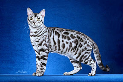 Types of snow bengal cats