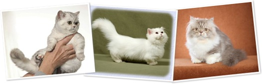 View napoleon dwarf cats
