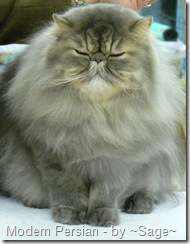modern persian cat at cat show