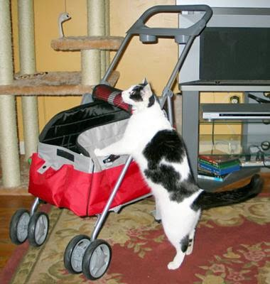 BB a moggie cat