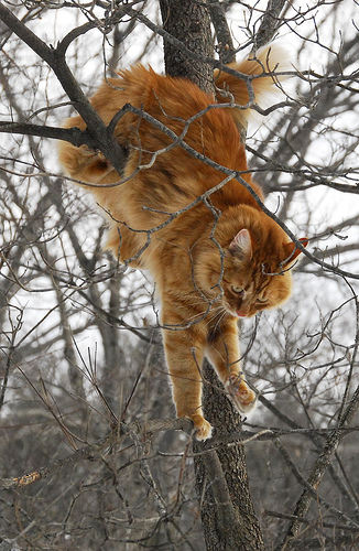ginger or orange tabby cat climbing a tree