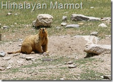himalayan marmot prey of snow leopard