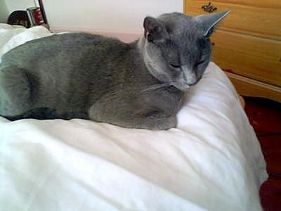 grey cat that looks like a Russian Blue or Korat