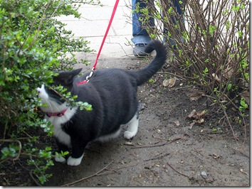 snow white cat on a leash