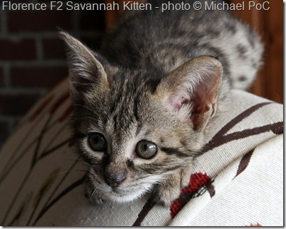 F2 Savannah Kitten Florence