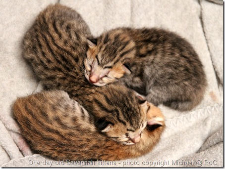 One day old Savannah kittens curled up together