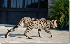 kathrin-stucki-photos-f2-savannah-cat-3