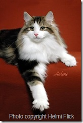 Norwegian Forest Cat Gustav
