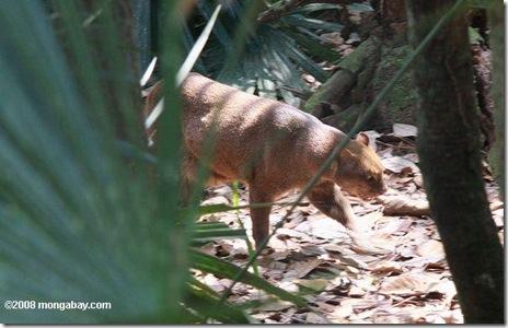 jaguarundi-belize