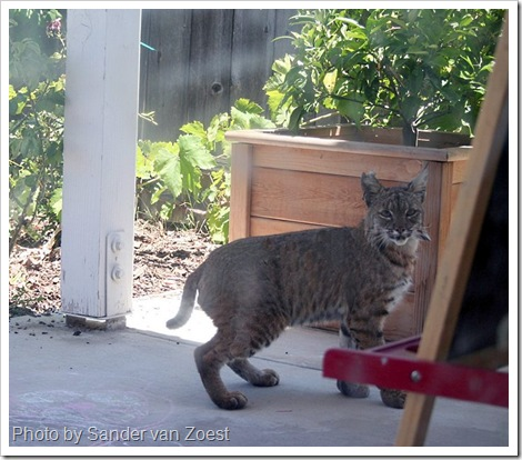 bobcat in backyard