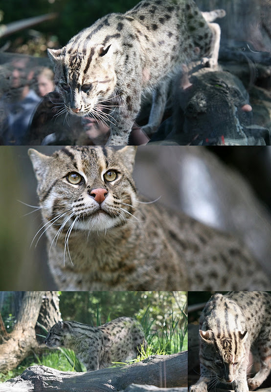 fishing cat collage