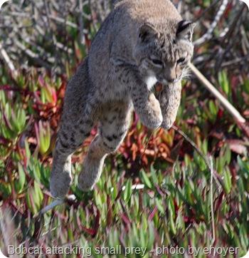 bobcat attack